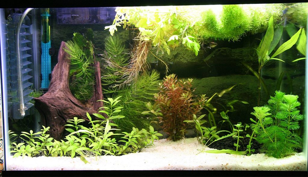 Hornwort Tank Mates and Compatibility1