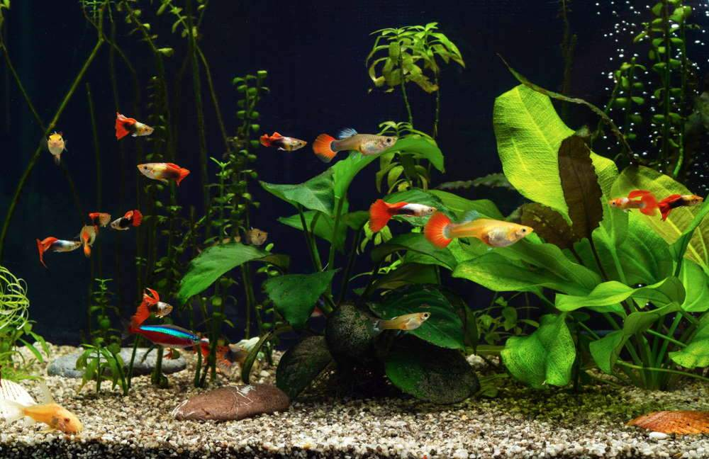 How To Care For Guppies? – [Begineer's Guide]
