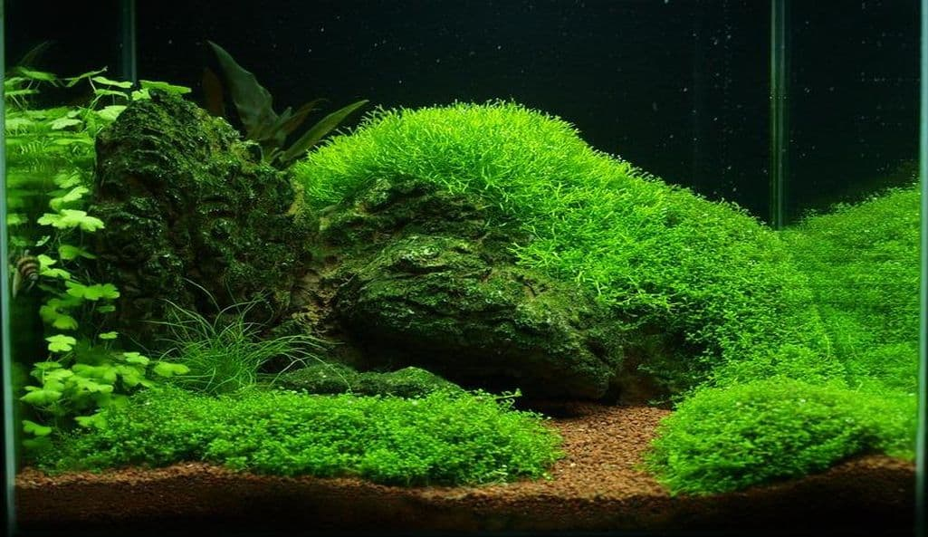 Is Java Moss Right for You