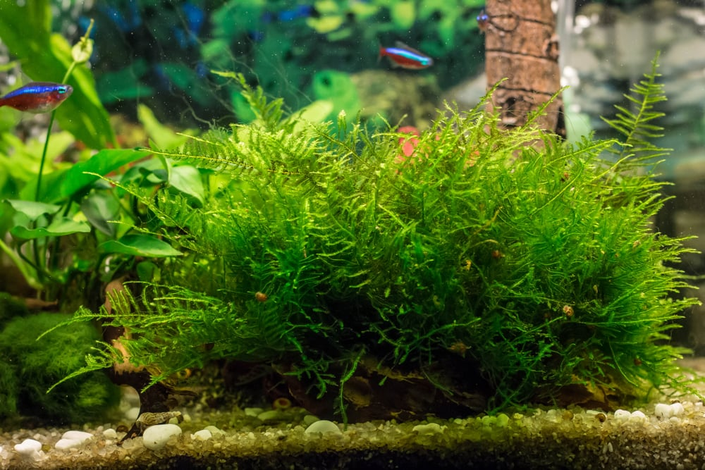Java Moss Tank Requirements