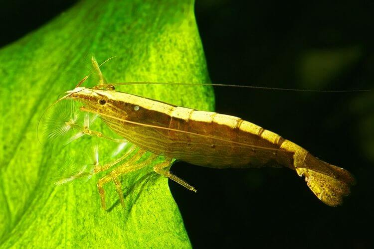 Bamboo Shrimp: Complete Guide